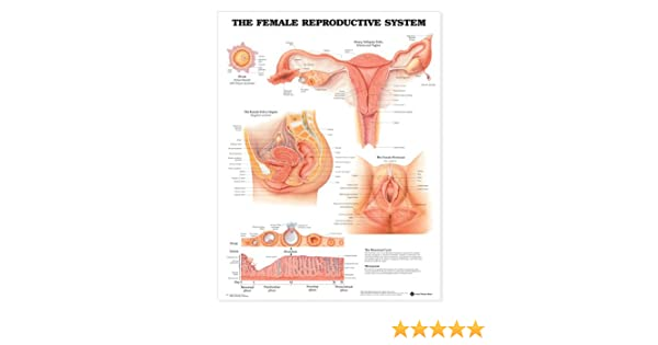 Amazon The Female Reproductive System Anatomical Chart