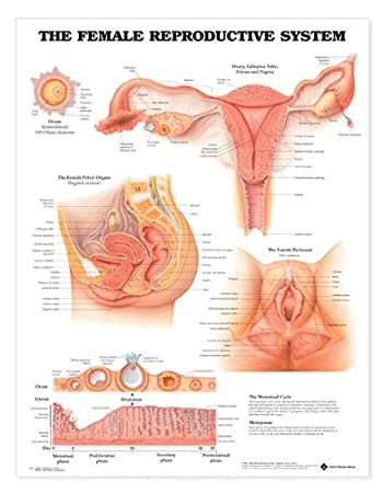 Amazon the female reproductive system anatomical chart the female reproductive system anatomical chart ccuart Image collections