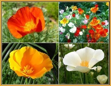 David's Garden Seeds Flower Poppy California Dreaming Mix D11VF (Multi) 1000 Open Pollinated Seeds