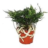 Tarantel-Farn, Vogelspinnen-Farn,Spinnenfarn, Humata tyermannii, Davallia, Zimmerpflanze, 12cm Topf