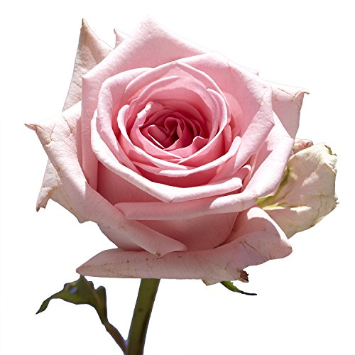 GlobalRose 100 Pink Roses- Exciting Fresh Flowers- Express Delivery by GlobalRose (Image #4)