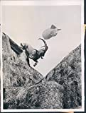 1944 England Grecian Wild Goat English Zoo Adouis Barrage Balloon Press Photo