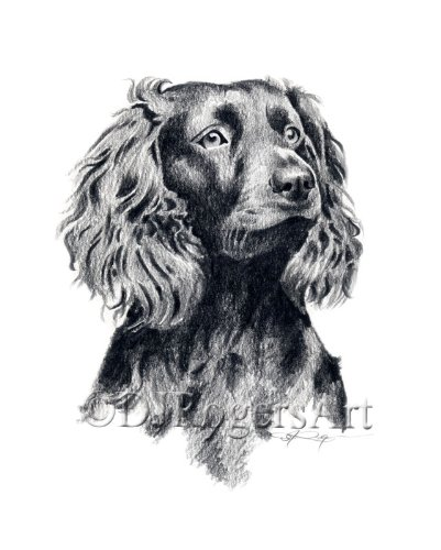 Boykin Spaniel Pencil Drawing Art Print by Artist DJ Rogers