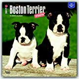 Boston Terrier Puppies 2017 Square (Multilingual Edition)