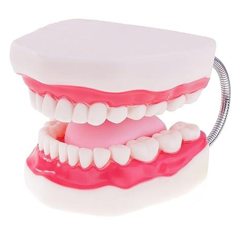 Amazon Com Monkeyjack Human Mouth Teeth Tongue Model Educative