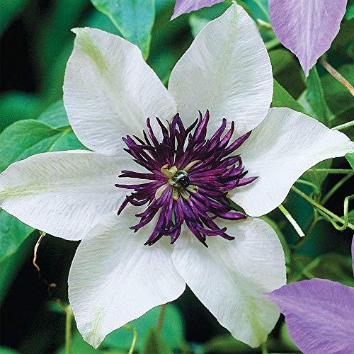 25 Seeds White Purple Clematis Large Bloom Climbing Perennial Garden Flower (Best Dark Purple Clematis)