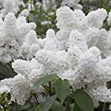Youcoco White Japanese Lilac Tree Seeds Clove Flower Seeds Bonsai Flower Seeds Garden Flowers