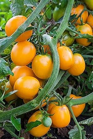 """Tomate """"Akron"""" - variedad naranja-roja para el cultivo en invernaderos y"""