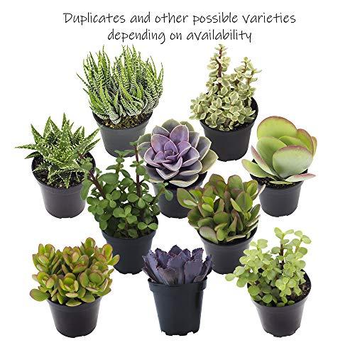 Altman Plants Assorted Live Succulents All Time Favorite Collection Large plants for DIY planters and terrariums, 3.5'', 9 Pack by Altman Plants (Image #5)