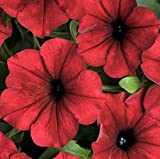 ~ Tidal Wave RED VELOUR NEW Trailing Petunia 20 Pelleted Seeds AAS