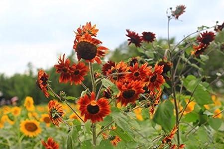 50 franceses Dwarf Semillas de girasol - fácil cultivo y hermoso, hacen más feliz a sus plantas de jardín semillas de flor del envío 11