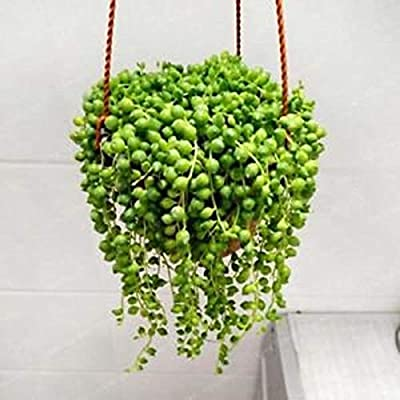 AchmadAnam - Seeds - 100pcs String of Pearls Succulents Hanging Basket Senecio Rowleyanu Rare Beautiful Hanging Planter Terrarium Succulent Plants. E13 : Garden & Outdoor