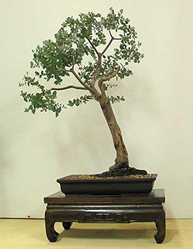 Bonsai Suitable Plant Eucalyptus Grandis Bonsai Suitable Tree Seeds Bonsai  Suitable Good For Indoor By
