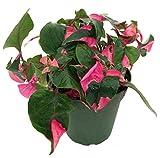"Biblical Pink St. Joseph's Coat Plant -Alternanthera- Easy Houseplant - 2.5"" Pot#hgs1076"