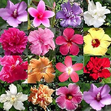 15 Pink Rose of Sharon Hibiscus Flower Seeds Perennial