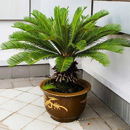 5Pcs Beautiful Cycad Seeds Sago Palm Tree Seeds Bonsai Seeds Garden Decor