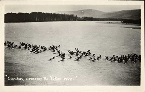 Caribou Crossing the Yukon River Other Animals Original Vintage Postcard from CardCow Vintage Postcards