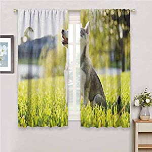 hengshu Alaskan Malamute Eclipse Blackout Curtains Klee Kai Puppy Sitting on Grass Looking Up Friendly Young Cute Animal Patio Door Curtains Living Room Decor W62 x L72 Inch Multicolor 25