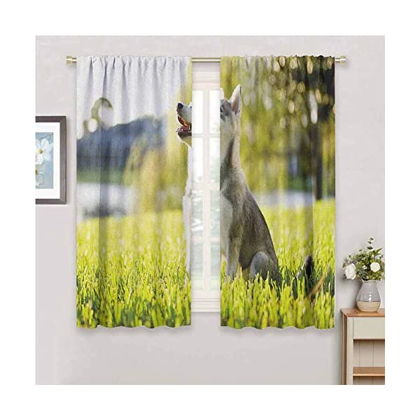 hengshu Alaskan Malamute Eclipse Blackout Curtains Klee Kai Puppy Sitting on Grass Looking Up Friendly Young Cute Animal Patio Door Curtains Living Room Decor W62 x L72 Inch Multicolor 1