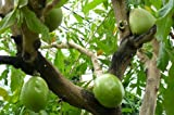 10 Seeds Crescentia cujete Calabash Ornamental Tree