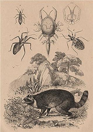 Amazon.com: Raccoon. reduviidae. enmascarados Hunter ...