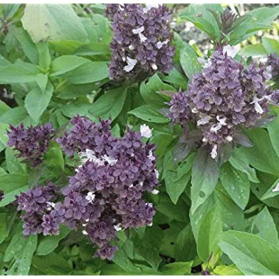 Cheap Fresh Basil Seeds Siam Queen Seeds Spicy Basil Get 250 Seeds Easy Grow #MRB01YN : Garden & Outdoor