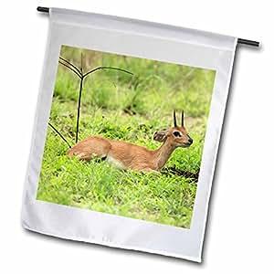 Danita Delimont - Antelopes - Steenbok buck, Mkuze Game Reserve, South Africa-AF42 MPR0029 - Maresa Pryor - 12 x 18 inch Garden Flag (fl_69803_1)