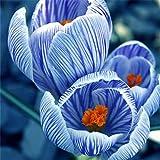 Dutch Saffron Seeds Bonsai 100Pcs/lot Crocus Bulbs Iran Bulbs Flower Seeds Bulbous Flowers Potted Home Garden Plant Easy To Grow