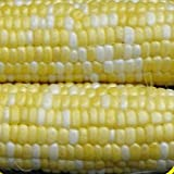 bulk corn seed - 1 Lb Peaches & Cream Hybrid Sweet Corn Seeds - Gold Vault Bulk