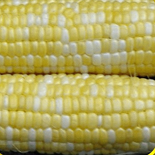1 Lb Peaches & Cream Hybrid Sweet Corn Seeds - Gold Vault - Pound 1 Corn