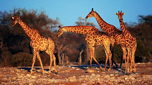 (Classic Wooden Adult Jigsaw 1000 Piece Giraffes On The African Steppe Large Size Puzzle Decorations 29.5x20in)