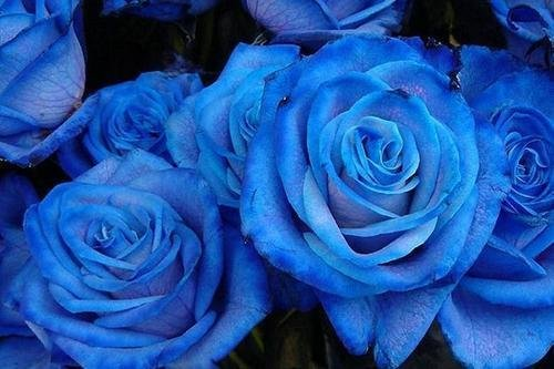 Hardy * Fragrant * Beautiful Blue Rose Seeds