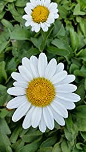 (1 Gallon Plant) 'Becky' Shasta Daisy Foliage of Shiny, Deep Green Leaves, Pure White Single Flowers with Yellow Center, '2003 Perennial Plant of the Year'