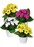 """Kalanchoes (Assorted Colors in Season) - Four Plants in 2"""" Pots"""