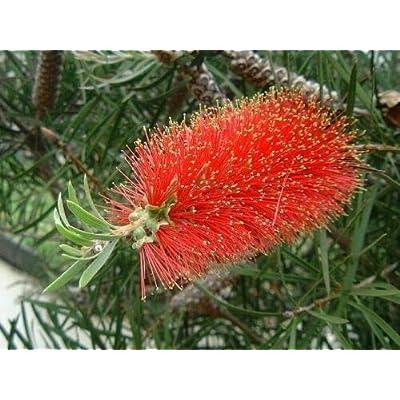 Callistemon rigidus HARDY RED BOTTLEBRUSH Seeds : Garden & Outdoor