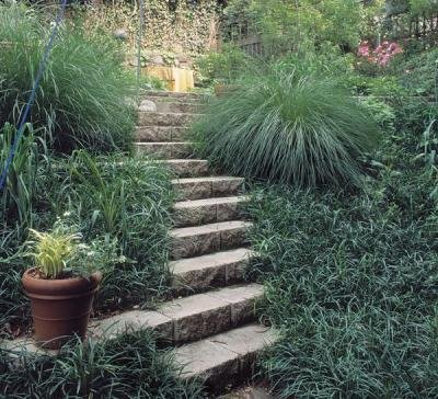 Classy Groundcovers - Liriope spicata {50 Bare Root Plants} by Classy Groundcovers (Image #2)
