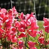 buy David's Garden Seeds Flower Sweet Pea Elegance Watermelon SR6462 (Pink) 50 Non-GMO, Open Pollinated Seeds now, new 2019-2018 bestseller, review and Photo, best price $7.95