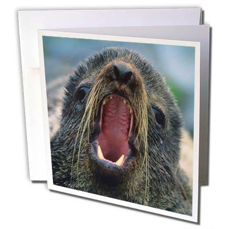 3dRose Danita Delimont - Seals - Northern Fur Seal, Callorhinus ursinus, California, USA - 12 Greeting Cards with envelopes (gc_259037_2) - Northern Fur Seal
