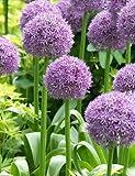 Globemaster Allium - 3 bulbs