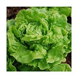 5000 seeds Tom Thumb lettuce seeds New seeds for 2017 season Non-GMO Heirloom