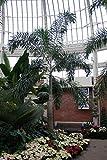 Live Foxtail Palm Tree