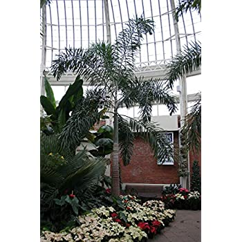Amazon Com Live Foxtail Palm Trees 1 Gallon 2 Feet