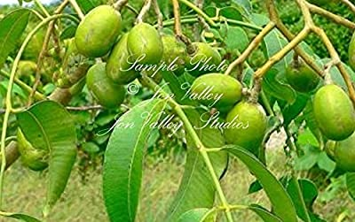 Choerospondias axillaris Lapsi 3 Stones - Seeds Nepali Hog Plum Tree Rare Multiple Seedlings from One Stone Container Gardening