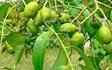 Choerospondias axillaris Lapsi 3 Stones - Seeds Nepali Hog Plum Tree Rare Multiple Seedlings from One Stone Container Gardening