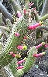 Cleistocactus Smaragdiflorus ~ Amazing Colorful Cactus ~ Rare 10 Seeds ~