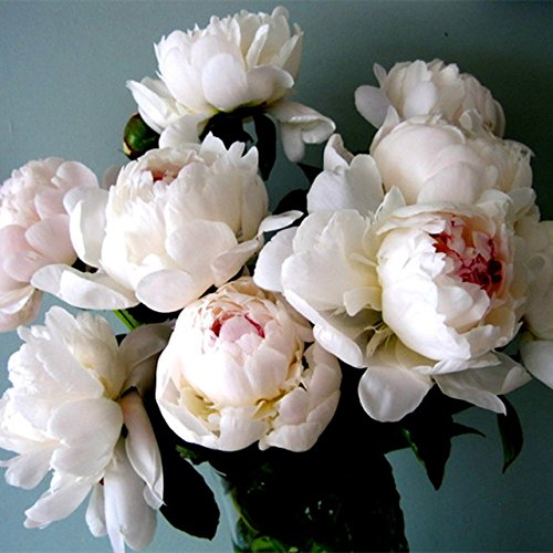 (10 pcs/bag Double Blooms peony seeds Heirloom Sorbet Robust peony yellow bonsai flower seeds pot tree Rose Balcony garden plant)