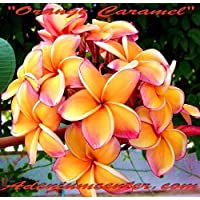 "GEOPONICS New Plumeria RUBRA Frangipani "" Orange Caramel "" 20FRESH Free Shipping"