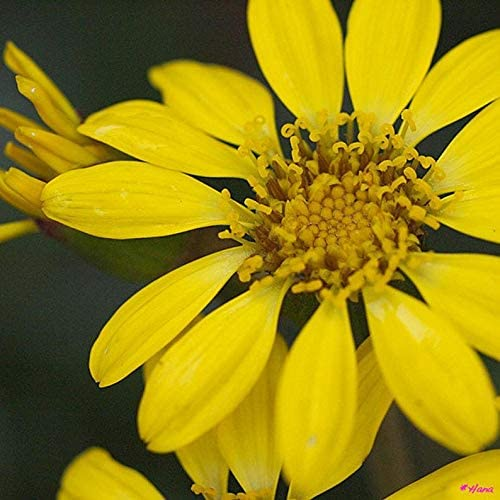 UEYR Leopard farfugium japonicum organici 10 Semi