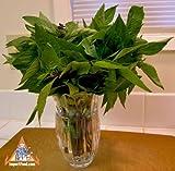 #6: Thai Basil seeds 200++ A.K.A Thai purple basil, Asian basil ,Organic Herb