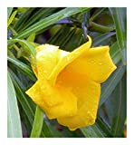 Thevetia neriifolia - yellow Oleander - 2 nuts (4-6 seeds)